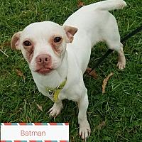Adopt A Pet :: Batman - Cincinnati, OH