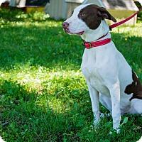 Adopt A Pet :: Opie - Pittsburg, KS