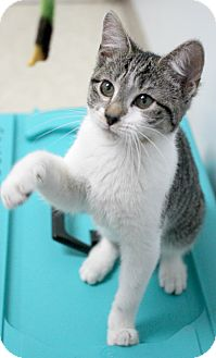 Domestic Shorthair Kitten for adoption in Montclair, New Jersey - Pineapple