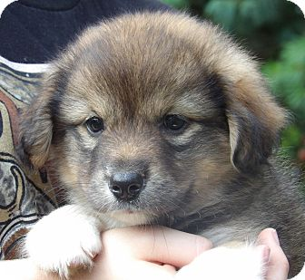 Spitz (Unknown Type, Medium)/Terrier (Unknown Type, Small) Mix Puppy for adoption in Burlington, Vermont - Gracie (5 lb) Video