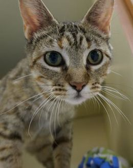 Domestic Shorthair/Domestic Shorthair Mix Cat for adoption in Verona, Wisconsin - Lilianna