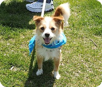 Yorkie, Yorkshire Terrier/Chihuahua Mix Dog for adoption in Ashland, Virginia - Spanky-ADOPTED!!!