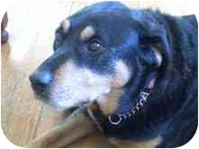 Rottweiler/Labrador Retriever Mix Dog for adoption in Surrey, British Columbia - Belle