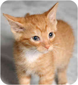 Domestic Shorthair Kitten for adoption in Chicago, Illinois - Yam