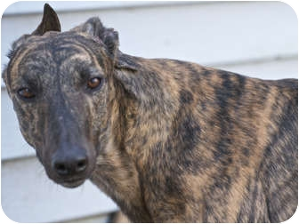 Greyhound Dog for adoption in Musquodoboit Harbour, Nova Scotia - Tapco Hondo