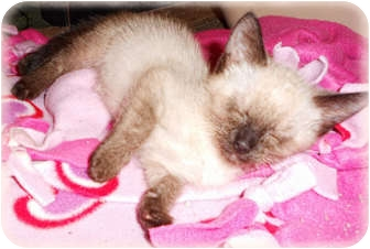 Siamese Kitten for adoption in Brighton, Michigan - Stuart