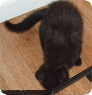 Domestic Shorthair Kitten for adoption in Westfield, Massachusetts - kitten - black