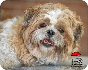 Shih Tzu Dog for adoption in Denver, Colorado - Spencer
