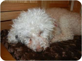 Poodle (Miniature) Dog for adoption in Madison, Wisconsin - Lloyd