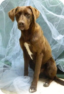 Labrador Retriever Mix Dog for adoption in Columbus, Nebraska - Merlin