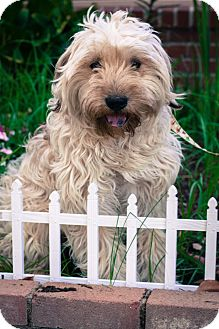 Labradoodle Mix Puppy for adoption in Auburn, California - Dexter
