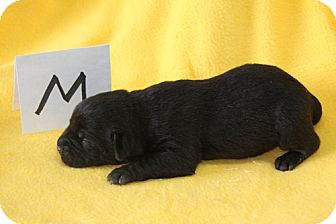 Labrador Retriever Mix Puppy for adoption in Oak Brook, Illinois - Black Male 2