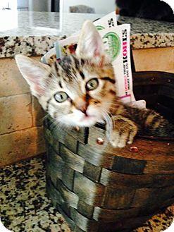 Domestic Shorthair Kitten for adoption in Homewood, Alabama - Tabitha