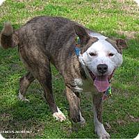 Adopt A Pet :: Boogie - Houston, TX