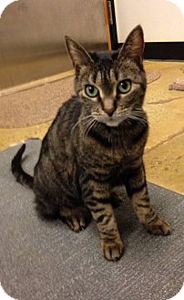 Domestic Shorthair Cat for adoption in Rye, New York - Mia