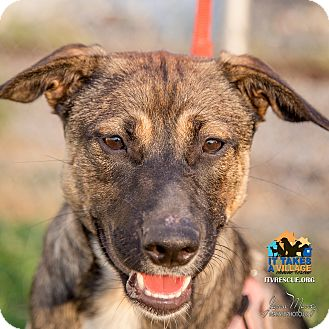Shepherd (Unknown Type) Mix Dog for adoption in Evansville, Indiana - Mila