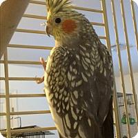 Adopt A Pet :: Freckles - Punta Gorda, FL