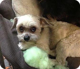 Standard Schnauzer/Terrier (Unknown Type, Medium) Mix Dog for adoption in Manhattan, New York - Sausage