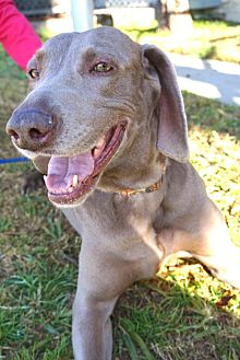 Weimaraner Dog for adoption in Sun Valley, California - Kassy