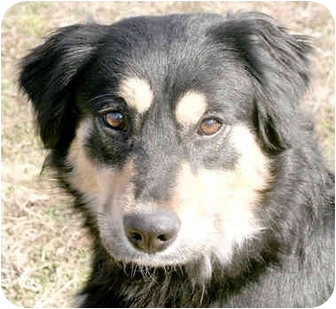 Border Collie Mix Dog for adoption in Cincinnati, Ohio - Mindy