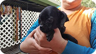 French Bulldog/Chihuahua Mix Puppy for adoption in Antioch, Illinois - Chastity - ADOPTED!!
