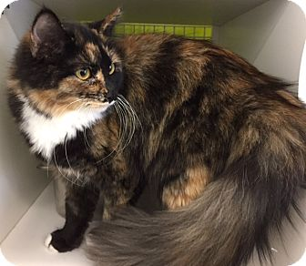 Domestic Longhair Cat for adoption in Meridian, Idaho - Haley