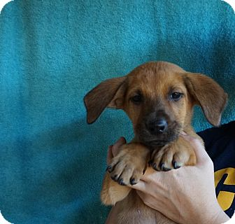 Australian Shepherd/Labrador Retriever Mix Puppy for adoption in Oviedo, Florida - Ping