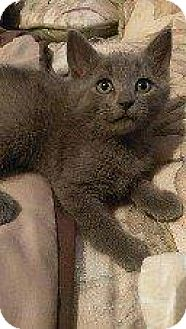 Domestic Shorthair Kitten for adoption in Hampton, Virginia - TATER