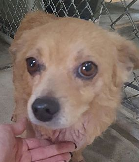Pomeranian/Chihuahua Mix Dog for adoption in Santa Rosa, California - Foxx