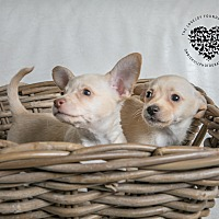 Chihuahua Mix Puppy for adoption in Inglewood, California - Sugar Litter Bonded Pair