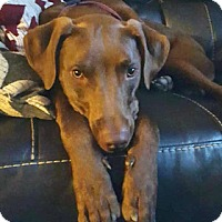 Adopt A Pet :: Chester - Broomfield, CO