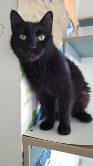 Domestic Shorthair/Domestic Shorthair Mix Cat for adoption in Williamsport, Pennsylvania - Felicia