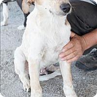 Adopt A Pet :: Jasper - Iran Pup - Encino, CA