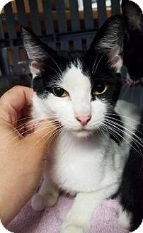 Domestic Mediumhair Cat for adoption in Mission, Kansas - Oakley