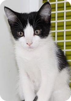 Domestic Shorthair Kitten for adoption in Meridian, Idaho - Oscar