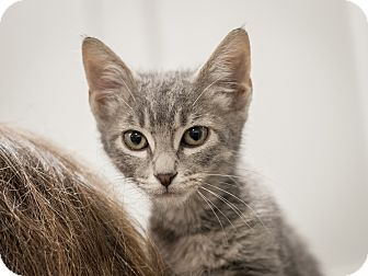 Domestic Shorthair Kitten for adoption in Dallas, Texas - Shelly