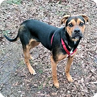 Boxer/Hound (Unknown Type) Mix Dog for adoption in Rutherfordton, North Carolina - Gator