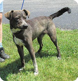 Blue Heeler/Hound (Unknown Type) Mix Dog for adoption in Reeds Spring, Missouri - Donald