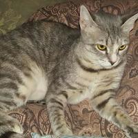Domestic Shorthair/Domestic Shorthair Mix Cat for adoption in Cumming, Georgia - Henna
