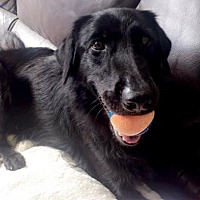 Flat-Coated Retriever Mix Dog for adoption in Tampa, Florida - Bailey