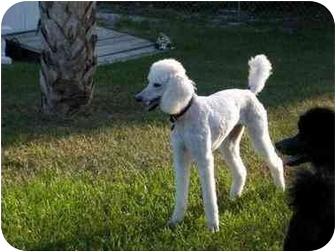 Poodle (Standard) Dog for adoption in Melbourne, Florida - GEE GEE