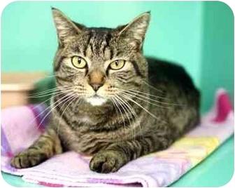 Domestic Shorthair Cat for adoption in Phoenix, Oregon - Miranda