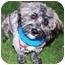 Photo 1 - Bichon Frise/Cairn Terrier Mix Dog for adoption in Gilbert, Arizona - Zephyr