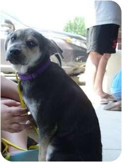 Rottweiler/Shepherd (Unknown Type) Mix Dog for adoption in Plano, Texas - Karina