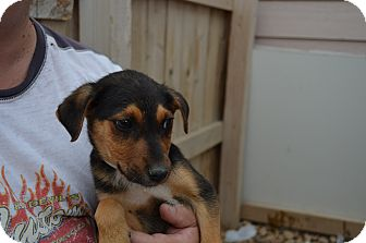 Beagle/Shepherd (Unknown Type) Mix Puppy for adoption in Westminster, Colorado - Duke