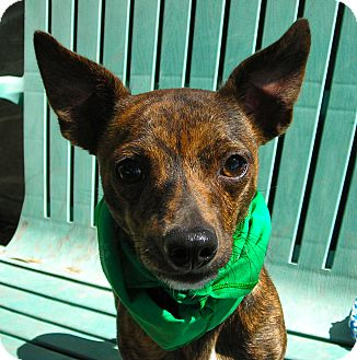 Chihuahua Mix Dog for adoption in El Cajon, California - Cooper