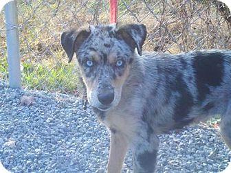 Australian Shepherd/Australian Cattle Dog Mix Puppy for adoption in Hagerstown, Maryland - Cher