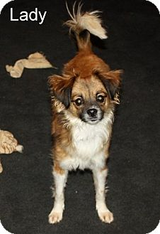 Cavalier King Charles Spaniel/Terrier (Unknown Type, Small) Mix Dog for adoption in New Jersey, New Jersey - Brick NJ - Lady