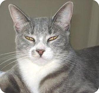 Domestic Shorthair Cat for adoption in Miami, Florida - Veruca