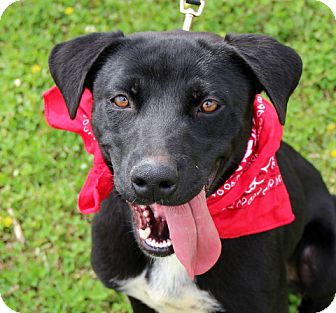 Labrador Retriever Mix Dog for adoption in Groton, Massachusetts - Rosie